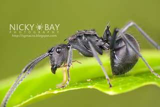 Ant (Polyrhachis sp.) - DSC_8603