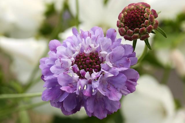 Höstvädd...Feliz quinta flower !