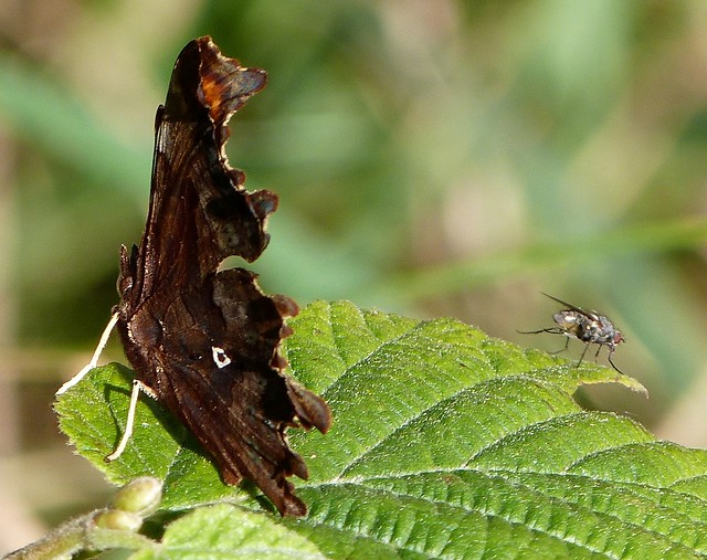Comma and Fly