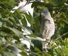 Southern Banded Snake-eagle - Circaetus fasciolatus by Riaan4