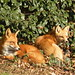 Flickr photo 'Red Fox (Vulpes vulpes)' by: JRWhitaker1.