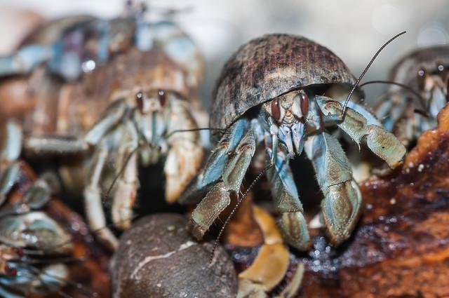Coenobita compressus - Ecuadorian hermit crab - Bernard l'Hermite Équatorien - , Limon, Costa Rica - 23/03/2012 23h12