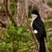 Pied cuckoo (Record Shot)