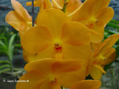 Sai Nam Orchid Farm, Chiang Mai, Thailand - Orchids - 2995 | by HereIsTom