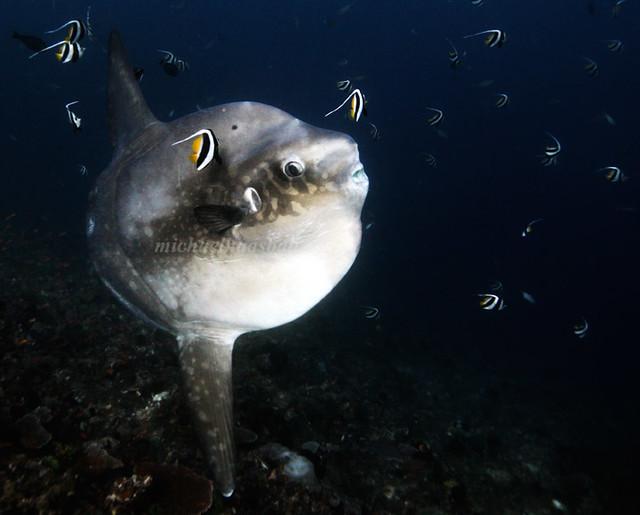mola mola diving bali sunfish