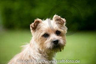 Angela Kraft 15062012 Cairn Terrier 10 | by Angela Kraft