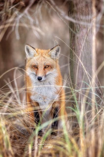 Red Fox - Perfect Camo