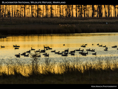 sunrise geese maryland blackwaternationalwildliferefuge