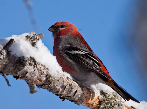 Pine Grosbeak | by Laura Erickson