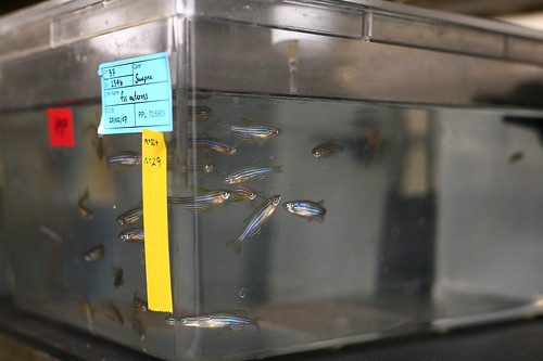Zebrafish in Research Lab for Animal Testing | by www.understandinganimalresearch.org.uk