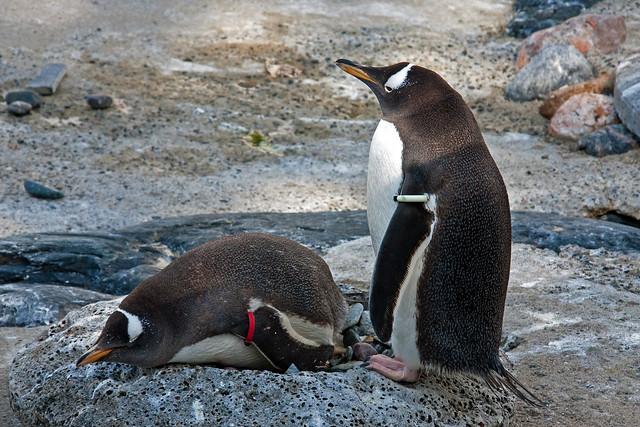 Penguin_In_Zoo 1.2, Bergen, Norway