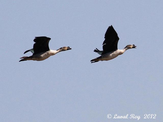 1.00289 Sarcidiorne à bosse / Sarkidiornis melanotos / African Comb Duck