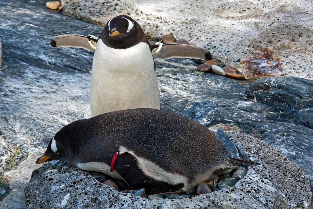 Penguin_In_Zoo 1.3, Bergen, Norway