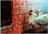 תרנגול מול קיר משחטה בישראל