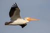 American white pelican (Pelecanus erythrorhynchos) by Ron Winkler nature
