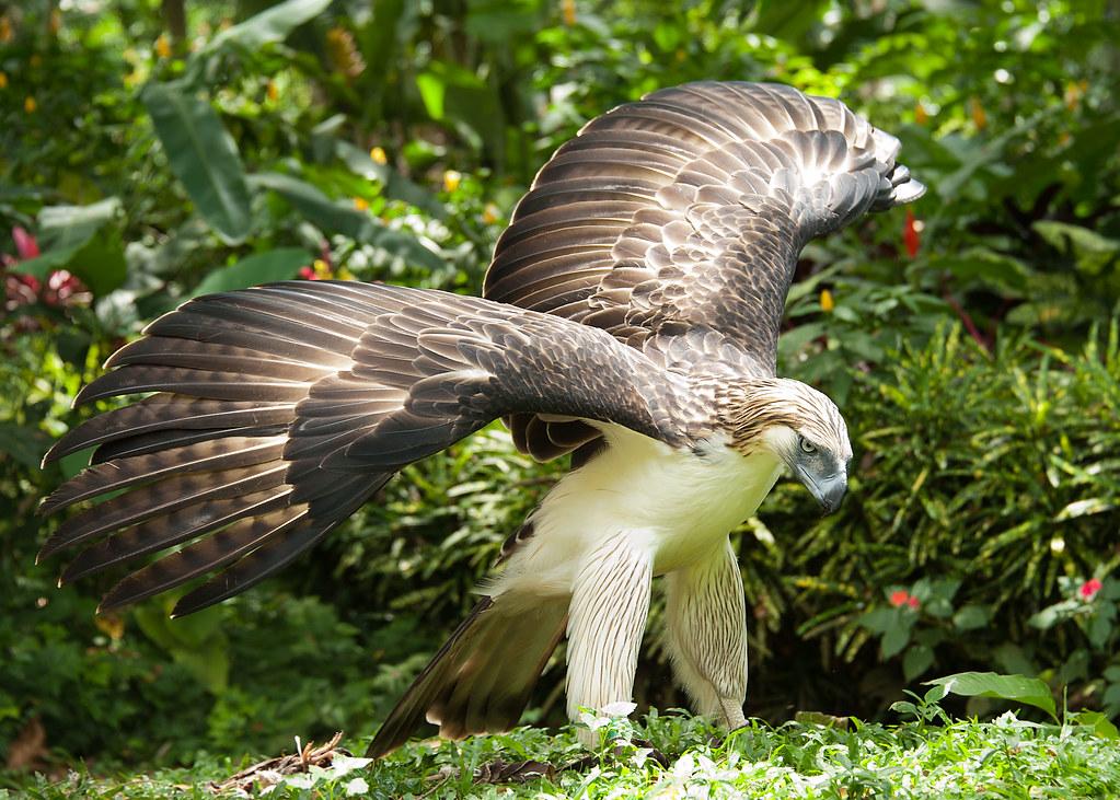 Philippine hawk