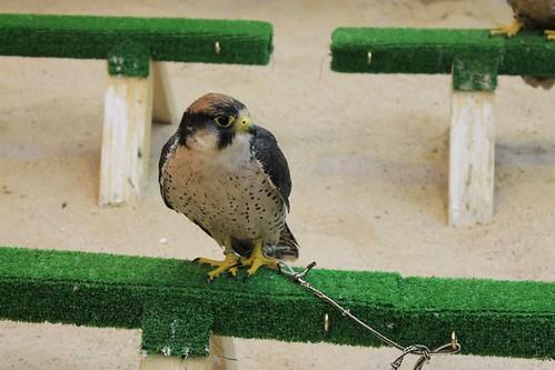 Falcons at souq waqif | by Rayya The Vet