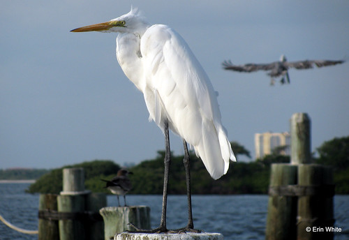 Great egret, Fort Myers Beach | by Erin *~*~*