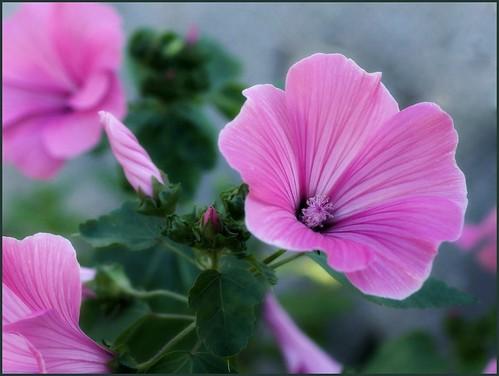 Rose-mallow - Lavatera - Лаватера | by Tatters ✾