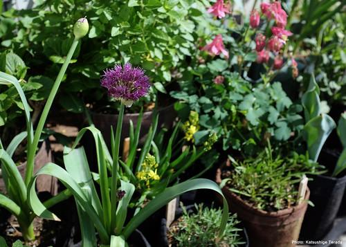 Allium Purple Sensation in Root Pouch   2018.04.19   by Katsushige Bon Terada
