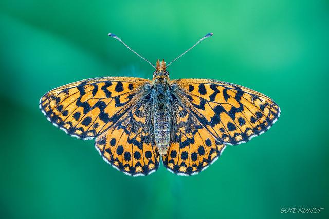 Di, 2018-06-26 16:08 - Magerrasen-Perlmutterfalter ein wahrer EDELFALTER!  Boloria dia  A real noble butterfly.  Freihand, natürliches Licht