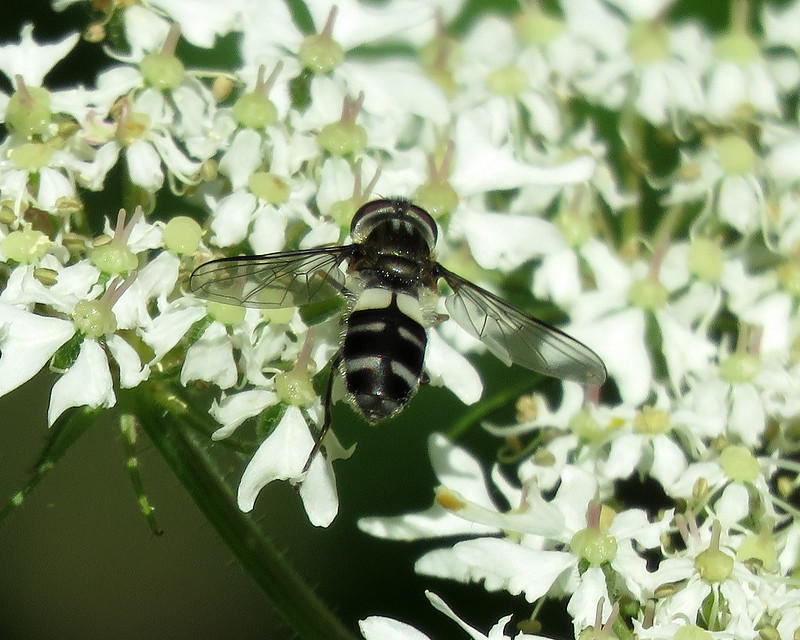 Leucozona laternaria