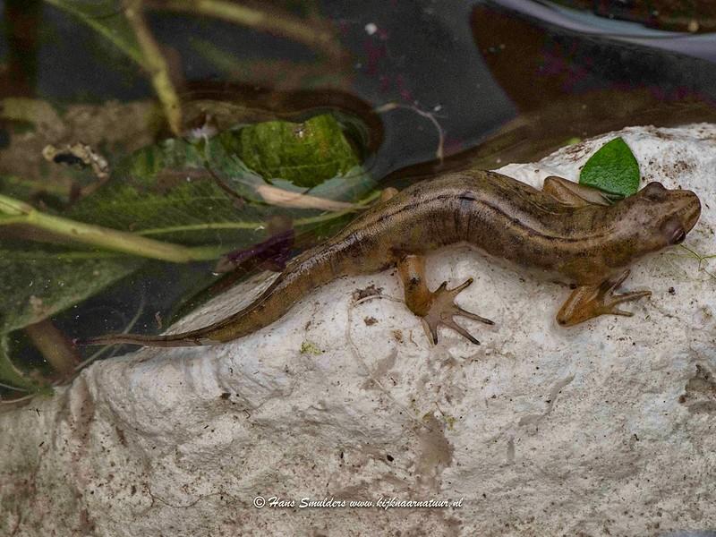 Kleine watersalamander (Lissotriton vulgaris)-818_5149