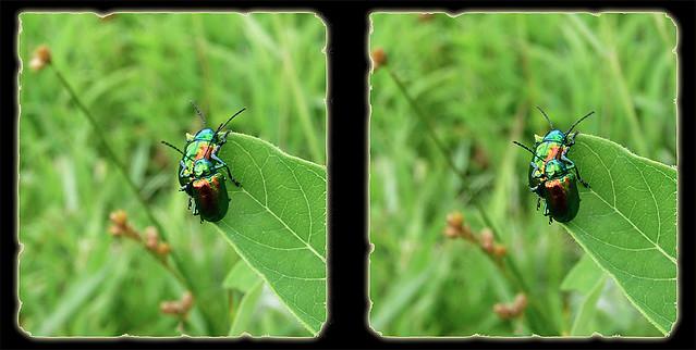 Dogbane Leaf Beetles in the Moment - Crosseye 3D