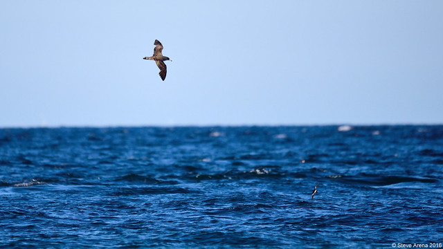 Cory's Shearwater (C. borealis) and Wilson's Storm-Petrel (O. oceanicus)