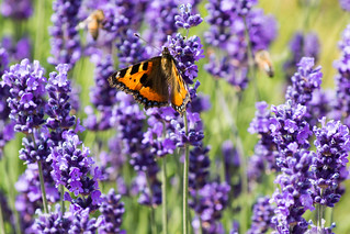 Lavender in the gardens at Audley End House | by nickstone333