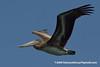 California Brown Pelican (Pelecanus occidentalis californicus), juvenile DSC_3072 by fotosynthesys