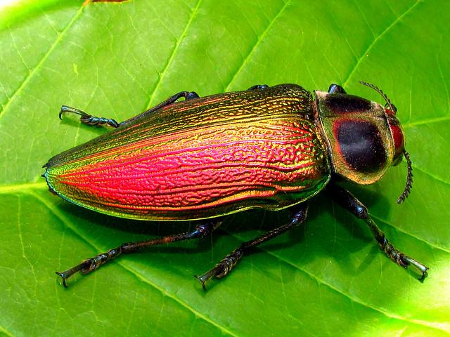 Euchroma gigantea (Coleoptera: Buprestidae) Giant Metallic Ceiba Borer