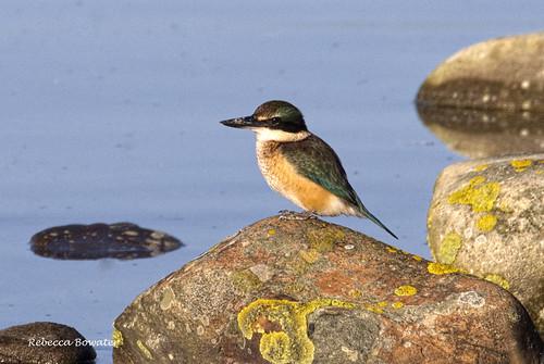 bird kingfisher lichen sea