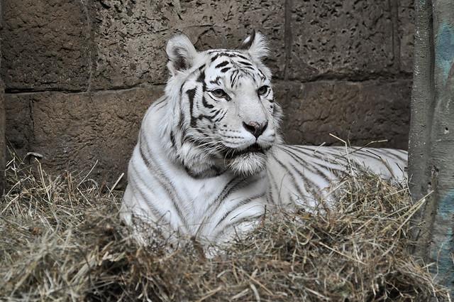 White Bengal tiger / Panthera tigris bengalensis / Бенгальский тигр (белая особь)
