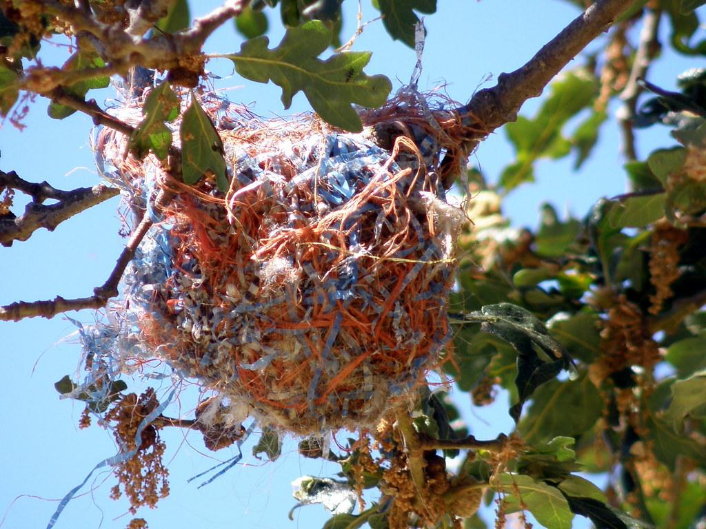 P6256032......Bullock's Oriole nest