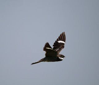 Common Nighthawk in flight Anahauc NWR 7-18 | by johnd1964