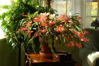 Christmas Cactus 2 | by cogito ergo imago