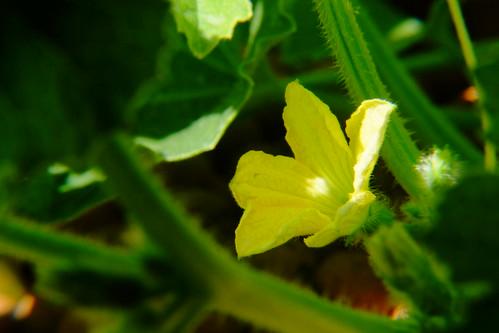 Flor do melão