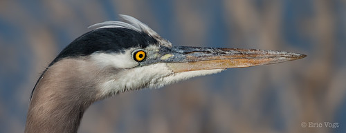 blue eye yellow bokeh head pano profile panoramic greatblueheron