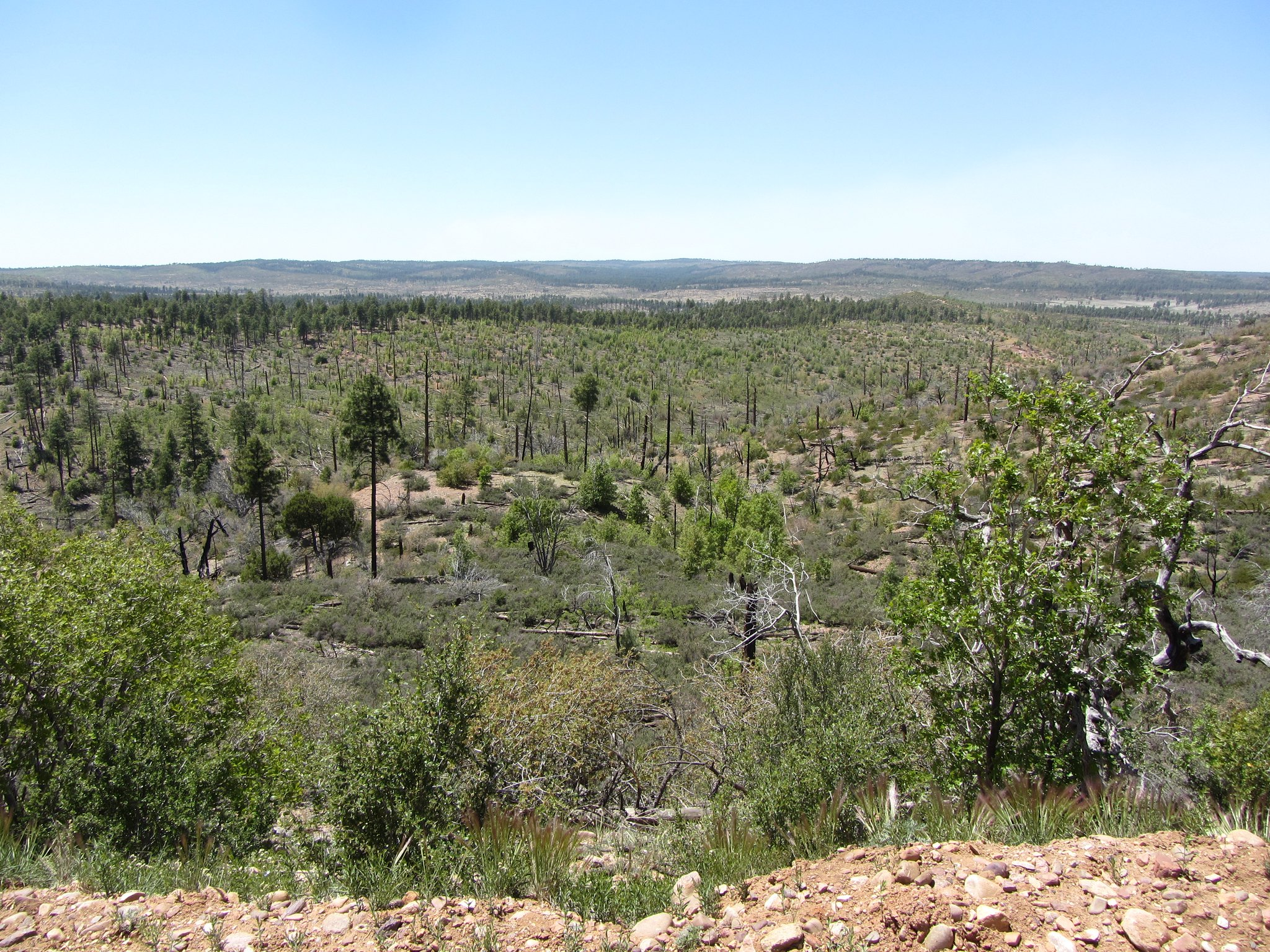 Forest 10 years after the Rodeo Chediski fire.