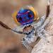 Maratus speciosus - Photo (c) Jurgen Otto, algunos derechos reservados (CC BY-NC-ND)