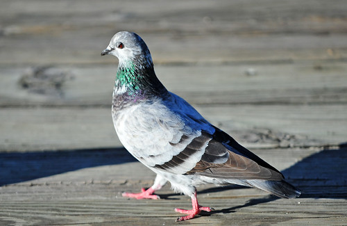 Rock Dove or Pigeon (Columba livia) | by warriorwoman531