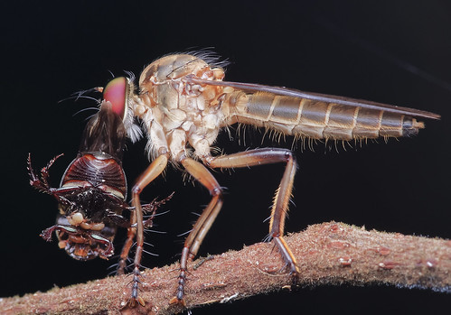 MGP0473-pp] Robberfly with prey | by JW Hisham Marmin