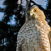 <p>2nd into 3rd year Sharp Shinned Hawk :)</p>