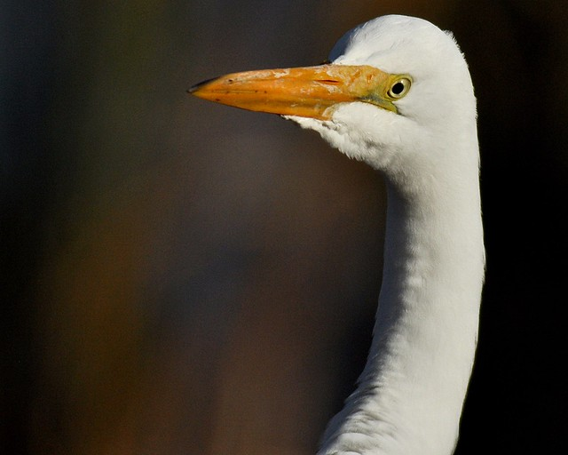 White hunter, Ardea alba