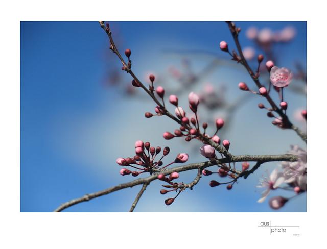 Sakura Budding