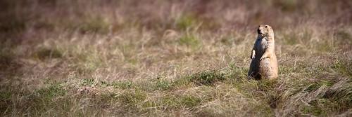 Prairie Dog | by wcurrierphoto