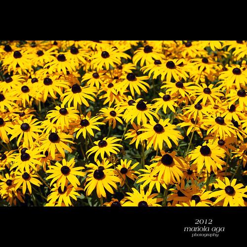 flowers summer brown nature yellow garden square flowerbed glencoe chicagobotanicgarden coth thegalaxy coth5 mygearandme mygearandmepremium mygearandmebronze mygearandmesilver mygearandmegold mygearandmeplatinum mygearandmediamond thesunshinegroup sunrays5 rudbeckagoldsturm