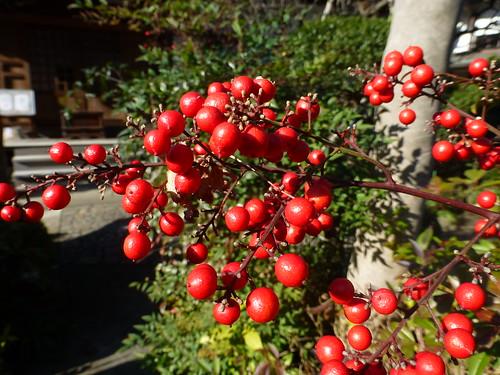 Sun, 16/12/2012 - 13:14 - 光照寺のまんりょう