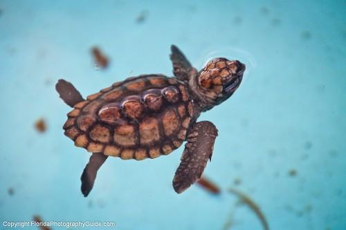 Baby Sea Turtle Swimming in Pool at Loggerhead | floridaphot ...